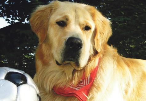 Der Golden Retriever ist allgemein als Familiehund und für sein ruhiges Gemüt bekannt. Aber auch dieser hübsche Gefährte kann ohne vernüftige Erziehung für seine Familie zur Belastung werden und mit seinen starken Zähnen schmerzhafte Bisse verursachen.